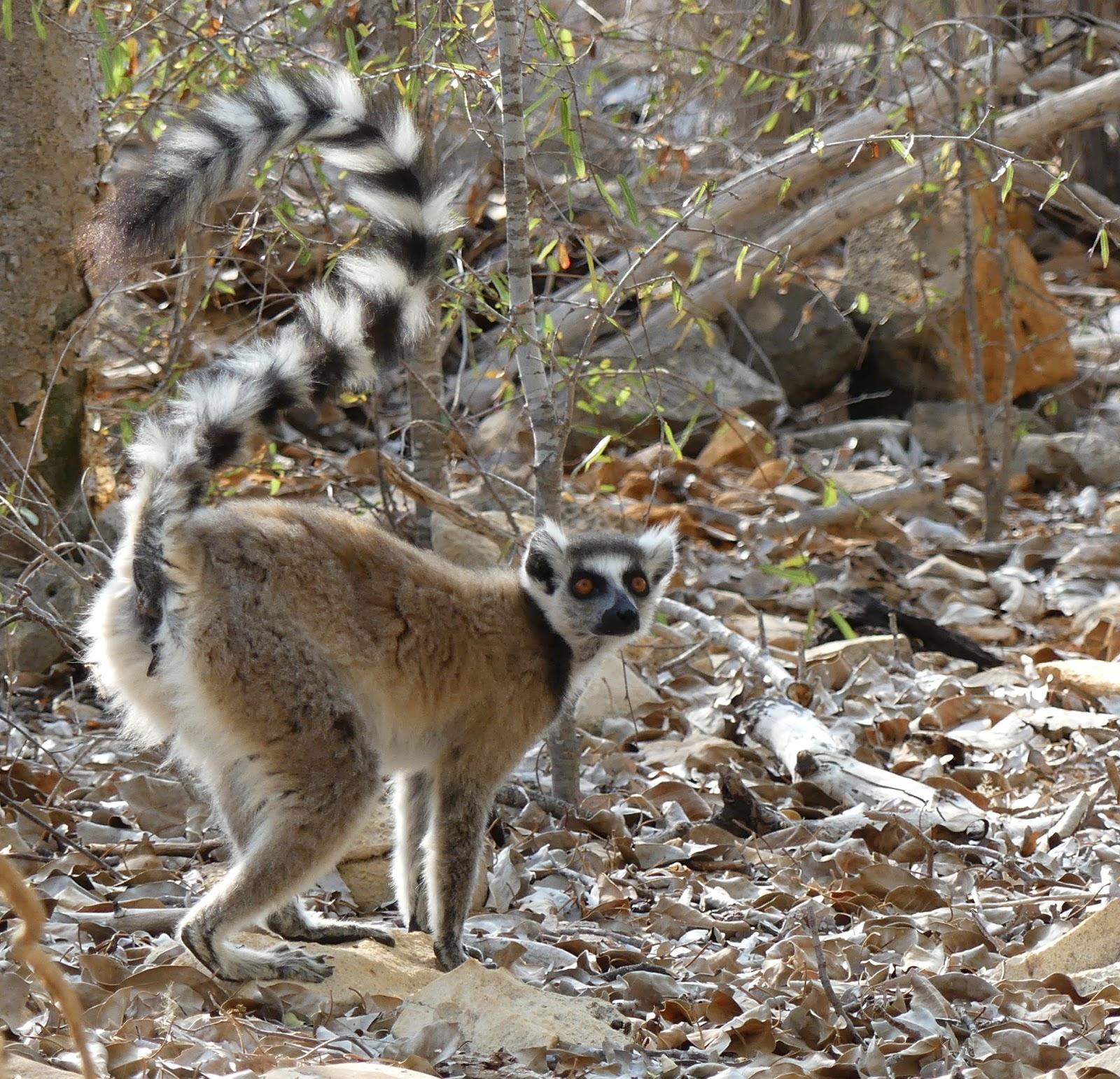ringtail lemur tisimanampetostra nature reserve madagascar photograph copyright birdgirl mya rose craig