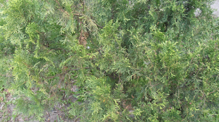 Arborvitae tree pictures