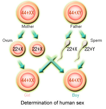 Health Article: Natural Method of Preselecting Gender of a Child