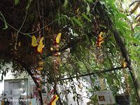Thunbergia, a jungle plant - Kyoto Botanical Gardens Conservatory, Japan