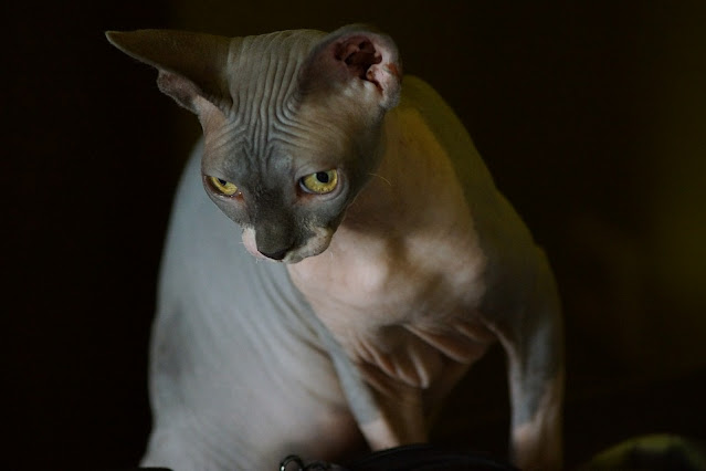 sphynx cats for sale