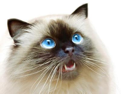 Sejarah Ras Kucing Himalaya