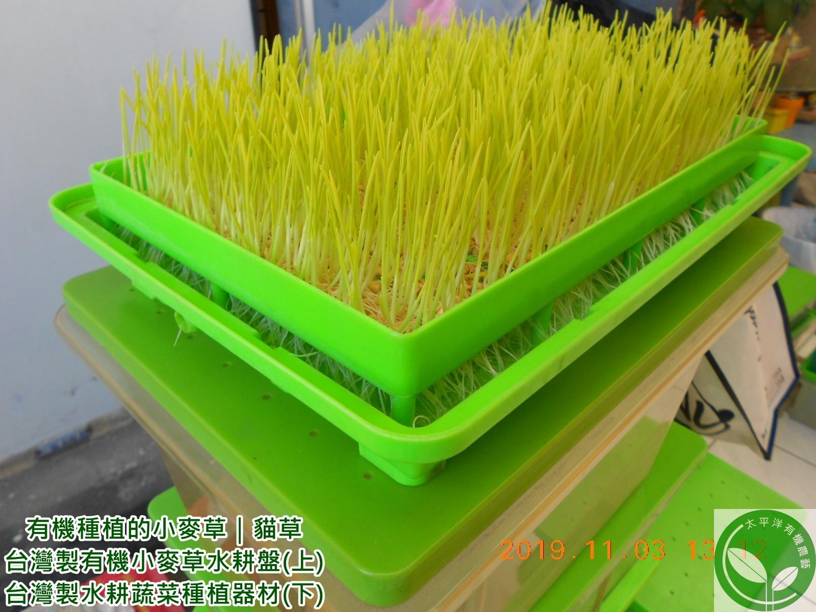 小麥草(貓草)種子|有機小麥草(貓草):太平洋有機農藝-有機水耕種植小麥草(貓草)