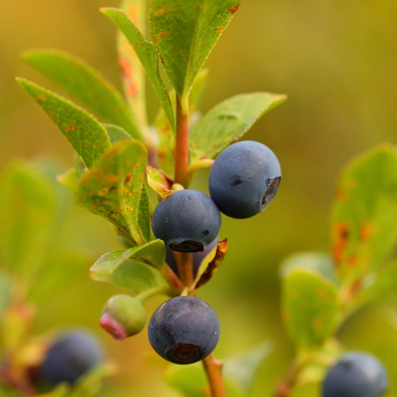 wild harvests  the elusive and excellent dwarf bilberry