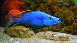 Ikan Hias Niassa