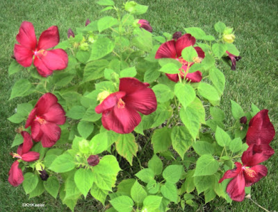 Hibiscus syriacus, rose of Sharon