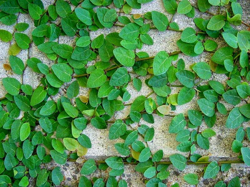 Jual pohon dolar | supllier tanaman hias | jasa tukang taman