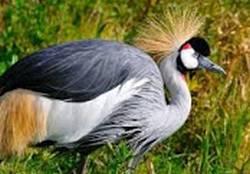 kisah kasuari dan burung dara