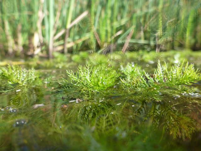 Vesikasvin lehdet kurkottelevat tyynen pinnan päälle