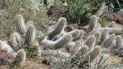 Creeping-devil-is-a-rare-species-of-cactus