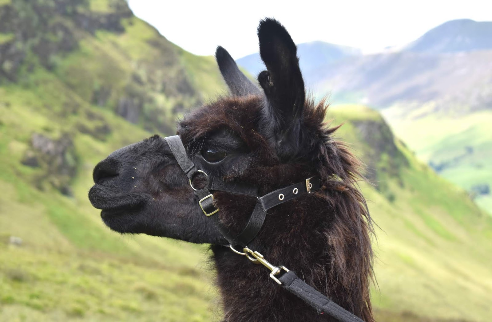 Once Upon a Llama - Llama Trekking in Lakes