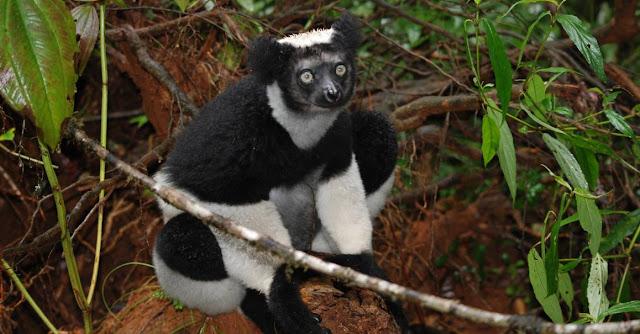 Indri de Madagascar y biologia