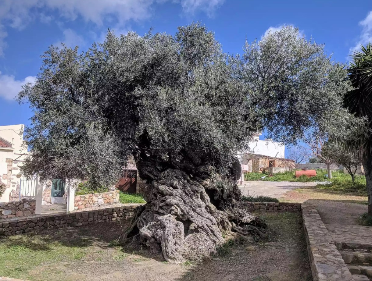 Oldest Living Trees,  Olive Tree of Vouves