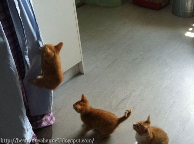 Three funny kitten and curtains