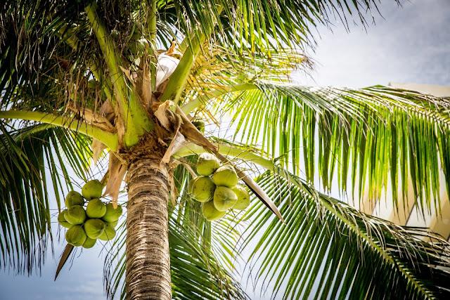 Manfaat dan khasiat kelapa bagi kesehatan