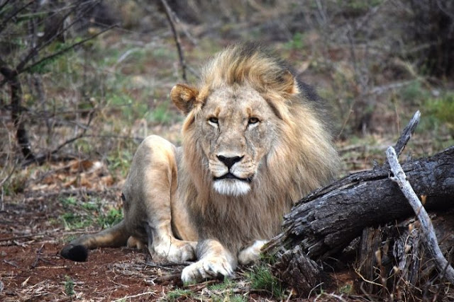 The South African Department Of Environmental Affairs Is Urged By Parliament To End Captive Lion Breeding For Trophy Hunting