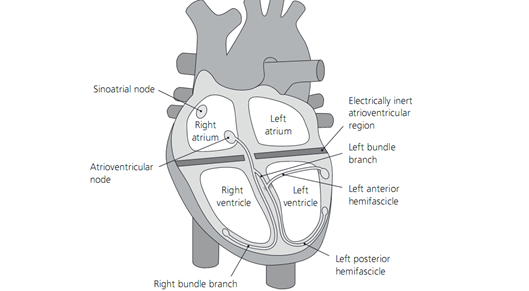 The His - Purkinje conduction system