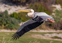Great white pelican in flight at Woodbridge Island.