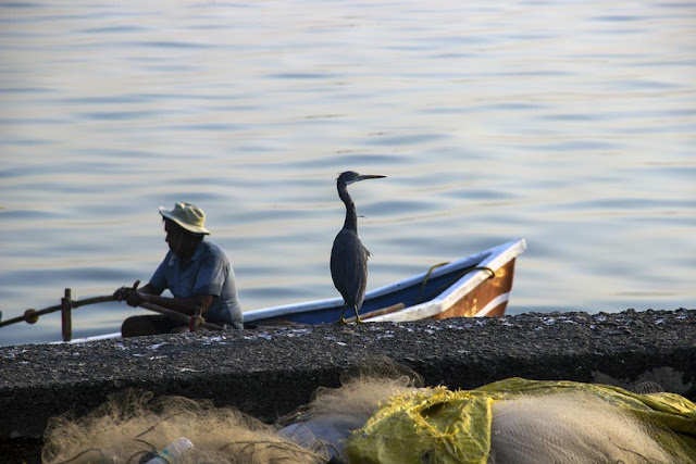 fisherman, blue heron, bird, worli jetty, mumbai, india, coast, arabian sea,