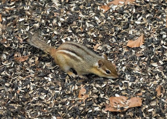 Eastern Chipmunk - Hartwick Pines, Michigan, USA