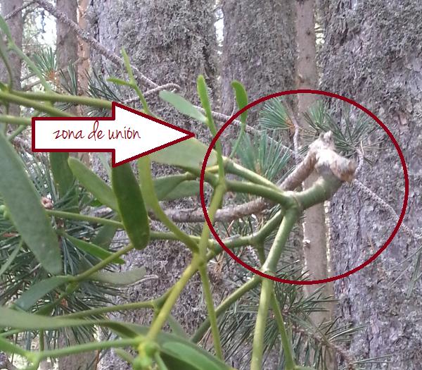 unión del muérdago y el pino