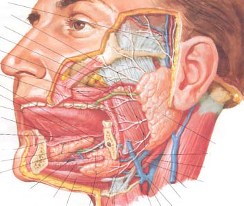 Anatomy and Physiology of the Salivary Glands and Sialography ...