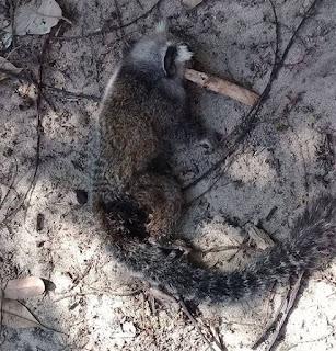 Aramari: Morte de mico acende alerta de febre amarela