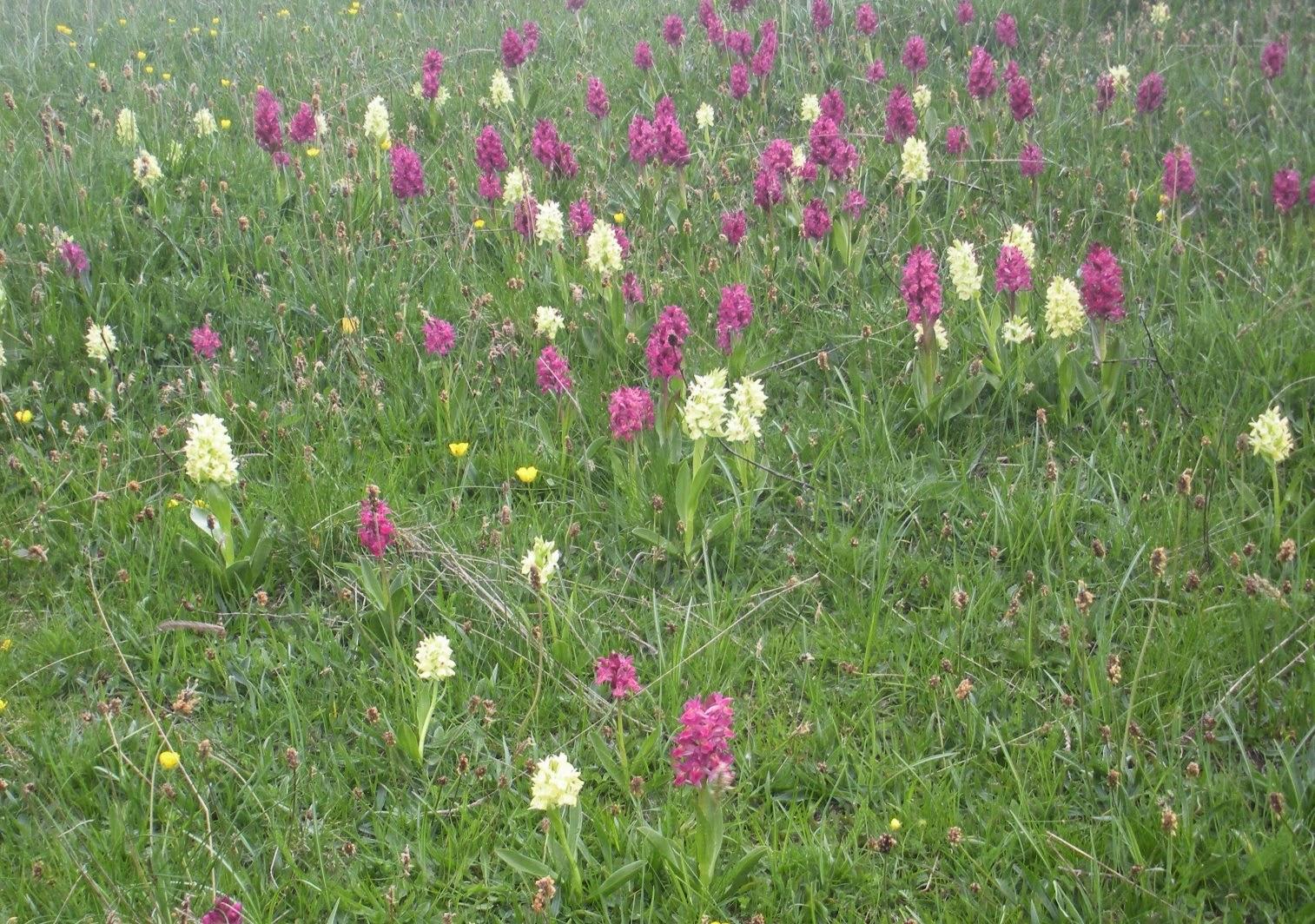 un prato di orchidea sambucina varietà rossa e gialla