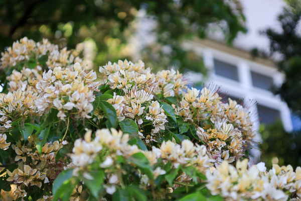 台中北屯「加羅林魚木」滿滿金黃色花朵盛開,難得一見的樹種