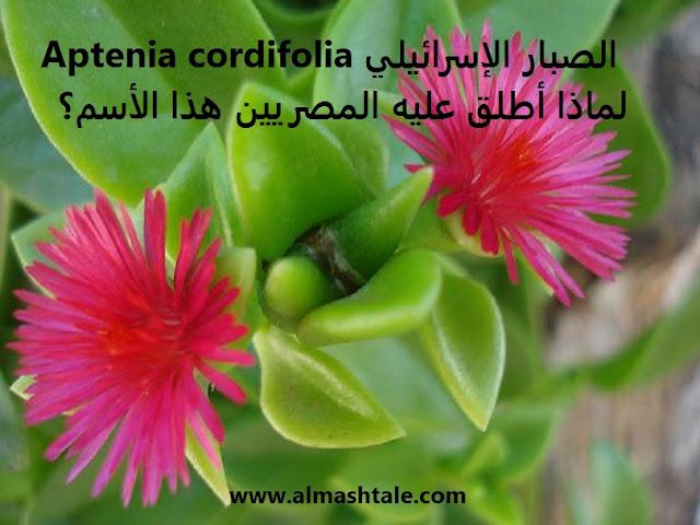 الصبار الإسرائيلي Aptenia Cordifolia أو حي علم