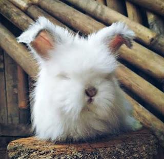 Jenis Kelinci Hias Anggora
