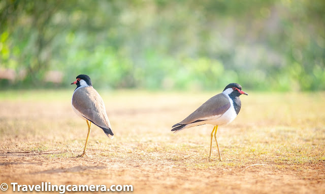"I still remember those times from my childhood when we used to sleep on the terrace. Sometimes there would be a breeze, but at other times, it would be perfectlt still and hot. But one aspect that never changed was the call of the lapwing. Of course, at that time, I did not recognize the bird by this name. However, I remember the white ghost-like bird that would be seen circling the sky when we heard the call. It was only recently that I started recognizing the creature associated with my childhood.   March is one of the most pleasant months in the year. It is when spring is at its best, and winter flowers are putting on a show that is worthy of a grand finale. This is the time when humans are the easiest with their surroundings and complain the least. In the golden days, when we were a society that felt secure enough to sleep in the open in good weather, the shrill three-note ""did-he-do-it"" call of the lapwing often tore through the nights. And therefore, the Lapwing is our bird of the month of March 2020.   The lapwing that almost all of us would have seen, even though we may not recognize it, is the red-wattled lapwing. This is a large plover that is often seen in pairs around water bodies during breeding season and may form large groups during non-breeding season (winter). It's alarm call is the shrill ""did-he-do-it"", that is scary enough to have you jumping out of your skin.    Red-wattled lapwings are ground birds that are incapable of perching. They nest in a ground scrape laying three to four camouflaged eggs. Adults near the nest fly around, diving at potential predators while calling noisily. Their calls are indicators of human or animal movements. Their chicks immediately after hatching start following the adults around for feeding.  The red-wattled lapwing is distinctly marked with a black breast and throat and a red bill that has a black tip. The red beak extends to red wattles leading up to the eyes. It has a white patch extending from the cheeks to the belly. In flight, its black flight feathers stand out in contrast against the white wing patch. The red-wattled lapwings feed primarily on insects.  The next lapwing that we have seen is the northern lapwing. This bird is also known as the peewit or pewit, tuit or tew-it, or the green plover. It is common through temperate Eurasia. It winters further south as far as north Africa, northern India, Pakistan, and parts of China. It migrates mainly by day, often in large flocks.   The northern lapwing breeds on cultivated land and other short vegetation habitats. The female lays 3–4 eggs in a ground scrape. Just like the red-wattled lapwing, the northern lapwing pair too defends their nest and young noisily and aggressively against all intruders, up to and including horses and cattle.  And we were also lucky enough to see the white-tailed lapwing. This is the smallest of all the lapwings we have seen and is a dainty little creature. I almost did not recognize it in the picture.   The next month we will bring you the magical hummingbirds. They are our birds of the month of April 2020. Do watch out."