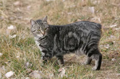 Manx cat - all you want to know about Manx cats