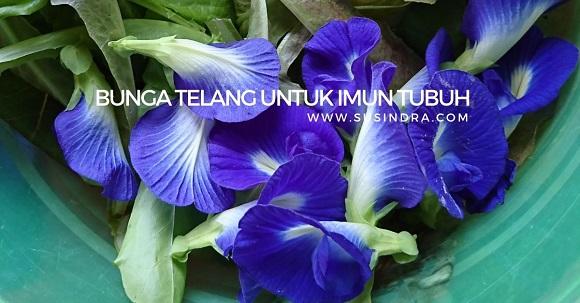 Bunga telang untuk imun tubuh