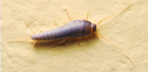 How To Get Rid Of Silverfish In A Home