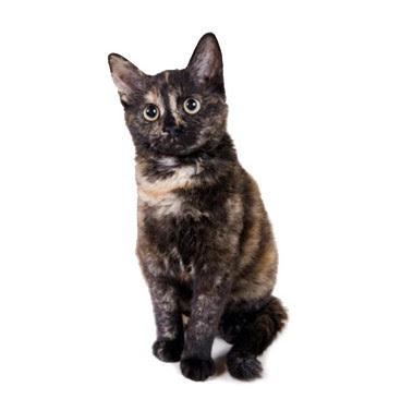 Jenis Kucing German Rex