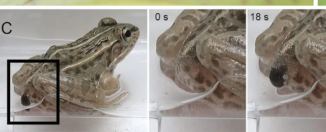 These Water Beetles Make Their Escape Out of a Frog's Butt After Being Swallowed