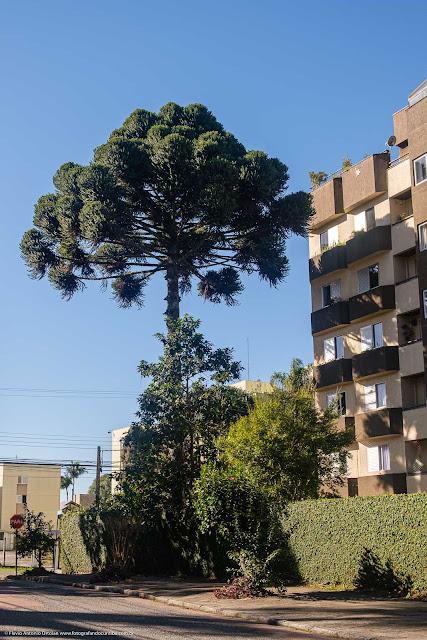 Bonito pinheiro-do-paraná na Rua Colombo, Curitiba