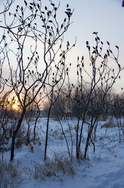 Bare Sumac Trees Silhouetted by Sunset