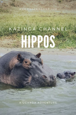 Hippos on a Kazinga Channel Boat Cruise in Uganda