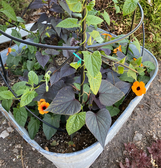 Photo of black eyed Susan vines in a laundry tub with obelisk