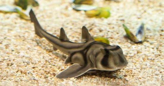 Port jackson shark aquarium