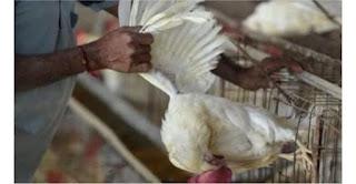 """ضبط """"1625 دجاجة"""" نافقة باحد """"المطاعم والمزارع"""" الشهيرة قبل بيعها للمواطنين بالفيوم"""