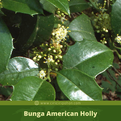 Ciri Ciri Bunga American Holly