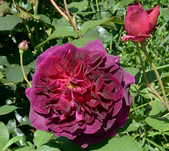 Munstead Wood сорт розы фото Остин купить саженцы Минск