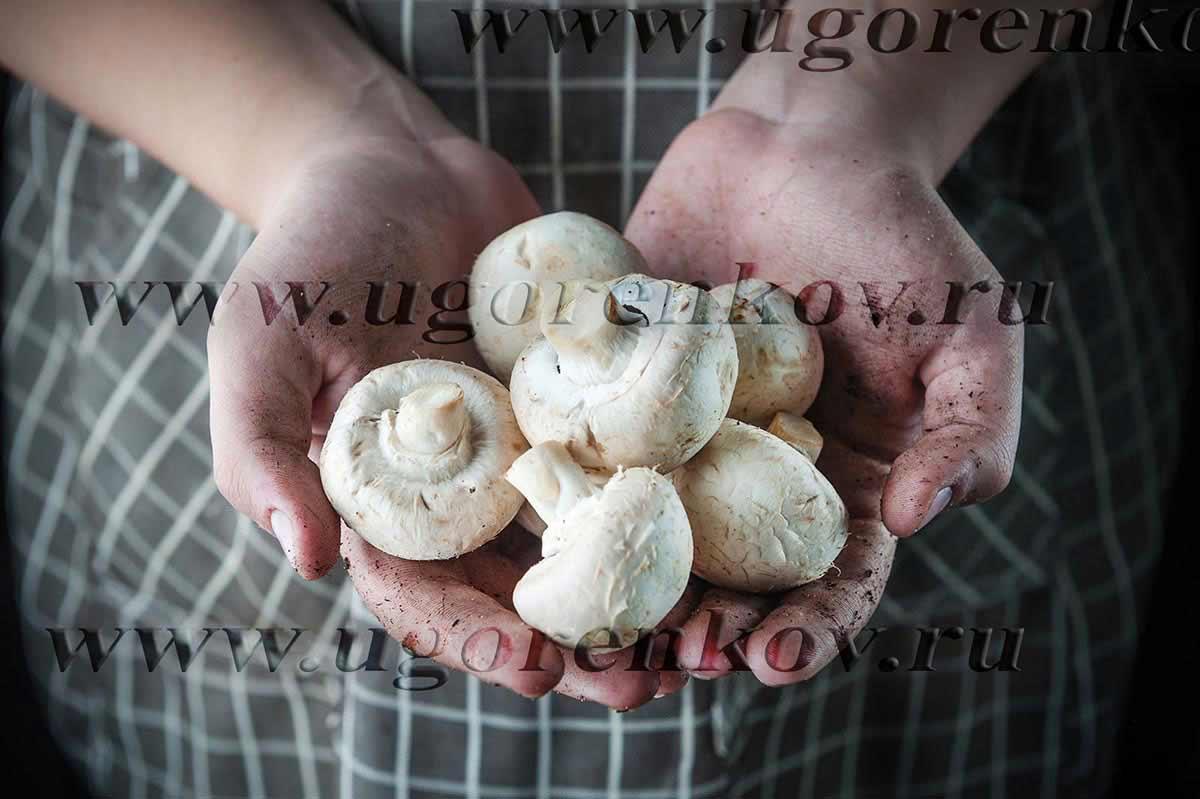 грибы шампиньоны в руках