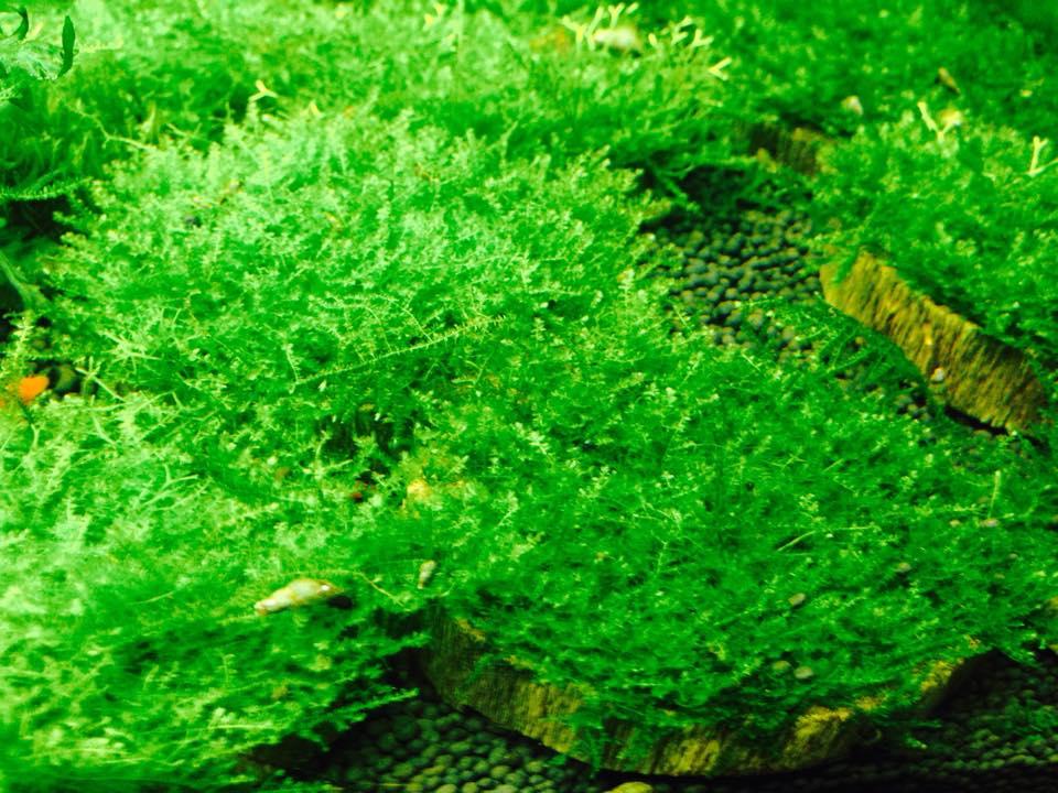 Tạp hóa thủy sinh - rêu Mini Taiwan