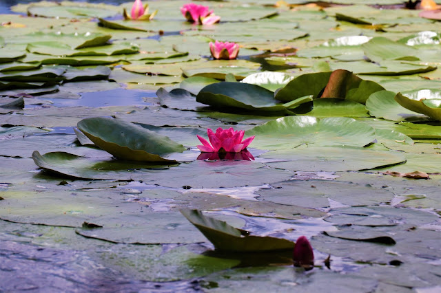 Lotus in the Pond @Walkersons Hotel #Dullstroom #SA #PhotoYatra #TheLifesWayCaptures