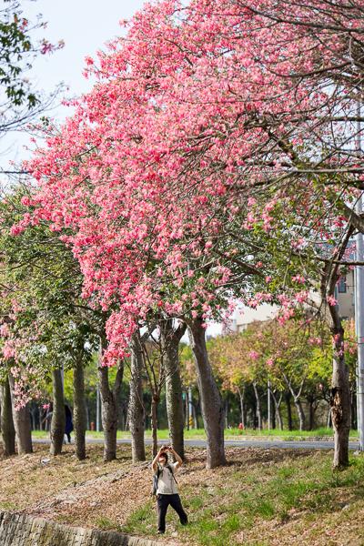 雲林虎尾美人樹大道綿延建成路2公里的粉紅美人櫻,農博公園旁