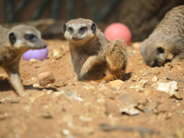 Image taken at Tattershall Farm Park of the meerkat enclosure featuring three meerkats running, playing and digging in their sand coveredenclosure
